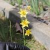 Mystery Daffodils