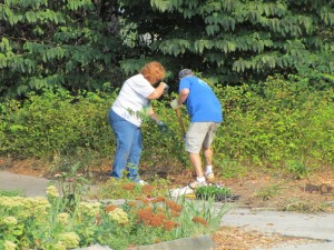 Volunteers Francis Fraley and Paul Ruder dig lirope to be moved