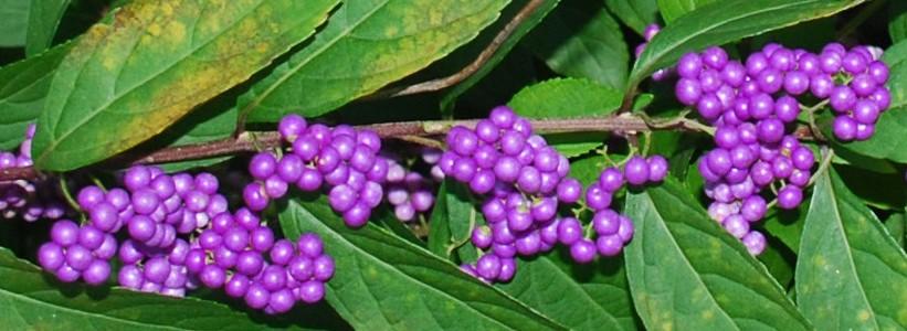 Slider-berries