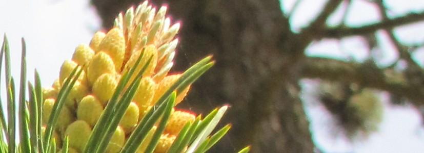 Slider-pine